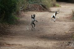 Territorial chase between a pair of Verreaux's Sifaka lemurs