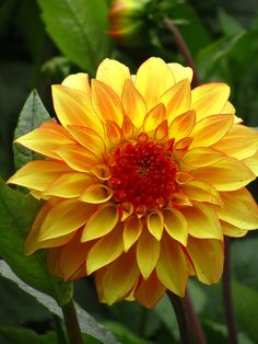 A beautiful yellow Dalia flower here in San Francisco. For more Dalia flowers:  http://www.zazzle.com/dean+johnson+dalia+flowers+gifts?st=date_created