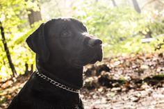 Black/Zwarte Labrador Boris