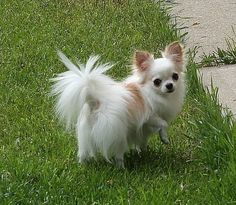 Picasso Chihuahuas - Photo Gallery Page 3 Chihuahua Love, Chihuahua Puppies, Cute Puppies, Cute Dogs, Dogs And Puppies, Teddy Bear Dog, Long Haired Chihuahua, Baby Dogs, Cheap Puppies