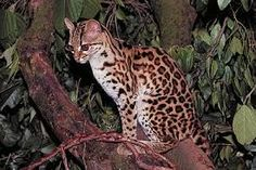 Often confused with the closely related ocelot, Leopardus pardalis, the margay can be distinguished by its smaller size, more slender build, proportionately large eyes, and the longer tail, which, unlike in the ocelot, is longer than the hindleg. The margay can also be difficult to distinguish from the oncilla, or little spotted cat (Leopardus tigrinus), from which it differs by its slightly larger size, its larger, less solid spots, and the backward-growing fur on the neck.