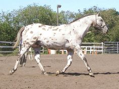 14 Best Appaloosa bloodlines I love images in 2016