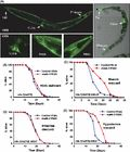 Want to live Longer?? Eat less!! Original Article from Genotypic's Genomics Services A novel kinase regulates dietary restriction-mediated longevity in Caenorhabditis elegans. - C.elegans is an elegant model organism for studying aging. Thanks to the authors for citing Genotypic Manish Chamoli, Anupama Singh, Yasir Malik and Arnab Mukhopadhyay* Published online: 21 Mar 2014