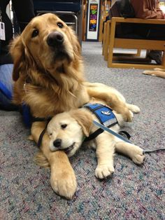 Golden Retrievers help comfort the residents of NewTown CT