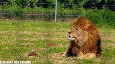 lion parc des félins