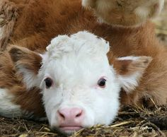 Could anyone with any decency, take this baby from it's mother? It happens everyday for dairy products. Go vegan
