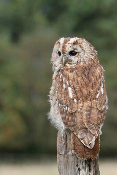 Tawny Owl by Lynda Smith