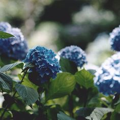 Image discovered by 𝑖𝑠𝑎 愛莎. Find images and videos about photography, blue and nature on We Heart It - the app to get lost in what you love. Blue Garden, Colorful Garden, Home And Garden, Hortensia Hydrangea, Blue Hydrangea, Hydrangeas, Lilacs, Blue Flowers, Blueberry Farm