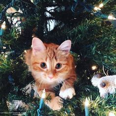 From @kittenkirwan: I am a baby Maine Coon kitten whose in love with this new indoor tree my mum got me  #catsofinstagram [source: http://ift.tt/22nBclH ]