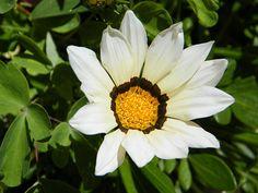 White Gazania Daisy in Foliage Fine Art Print - Mary Sedivy