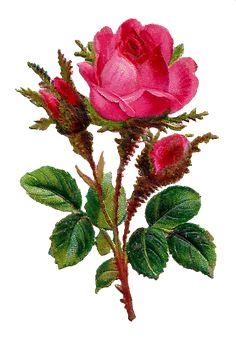 pink-rose-flower-clipart-digital-art-botanical-image-png.png (514×744)