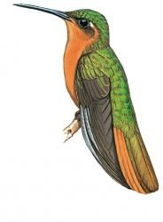 Rufous-breasted Sabrewing (Campylopterus hyperythrus)