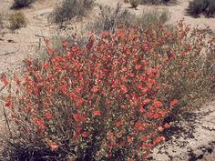 Blooming beautiful - Just blooming all by itself out in the bush, no pruning, primping or extra watering. A lovely Esperance wildflower, Western Australia Desert Flowers, Wild Flowers, Front Yard Design, Seed Bank, Plant Images, Water Wise, Native Plants, Western Australia, Gardening Tips