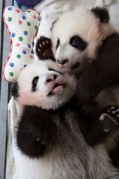 Happy Monday! If spread out wisely over a five-day period, cuteness of this nature can easily last you through the week. #ZAPandaCubs