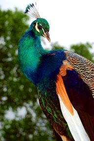 "Peafowl ~ There are ""two Asiatic and one African species of flying bird in...the pheasant family..."""