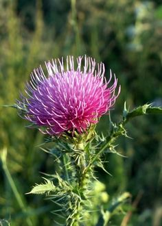 Continuous Daily Intake of Milk Thistle  Health Effects - The part I do not like is in their Considerations. I do not believe that you have to use their traditional methods along with the herbal. Why?  I believe the herbal is doing the cure and it should be considered Natural and Traditional, meaning, Herbal medicine (doctors who use natural GOD given herbs for your healing) vs Traditional medicine (doctors that pump you up with pharmaceutical drugs that usually causes some other ailment).