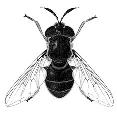 Illustration of the Hover fly Callicera aurata of the Family Syrphidae (Hover flies).