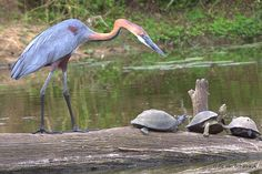Goliath Heron with the turtles