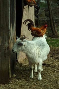 I want a few goats to keep the chickens company.