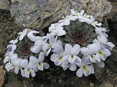Viola sacculus - Planta suculenta muito rara e sobretudo belíssima. Originária das montanhas alpinas da Patagônia.