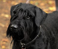 Beautiful giant-schnauzer picture gallery and breed information