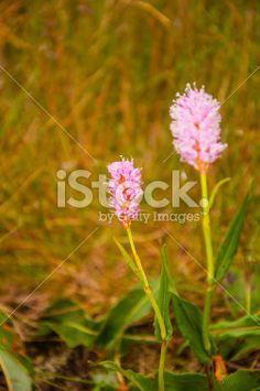 Polygonum bistorta L. (Persicaria Bistorta, Bistort, Ccommon Bistort) Royalty Free Stock Photo