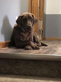 Pictures of Sienna a Labrador Retriever for adoption in Island Lake, IL who needs a loving home. Fluffy Husky, Puppy Classes, Homeless Dogs, Therapy Dogs, Labrador Retriever Dog, Working Dogs, German Shepherd Dogs, Happy Dogs, Dog Life