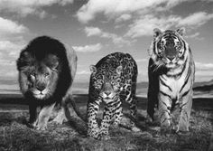 Lions and cheetahs and… tigers?! WTF?!