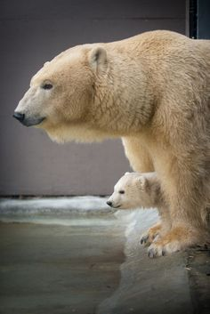 Polar bear cub between its parents legs