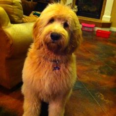 Golden doodle puppy...