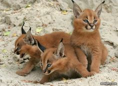 Caracal Kittens - MemePix