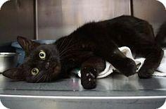 Lebanon, TN - Domestic Shorthair. Meet Licorice (C15-028), a cat for adoption. http://www.adoptapet.com/pet/12683864-lebanon-tennessee-cat