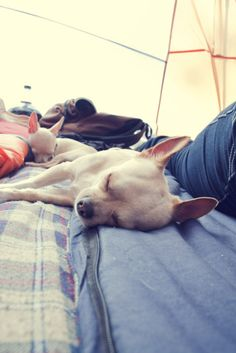 chihuahua hikers!: Sebastian and petey so sleepy after their hike.submitted by: http://elizabethwest.tumblr.com/