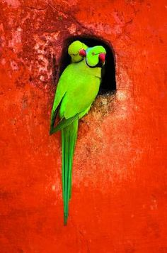 Lime Green Parrots