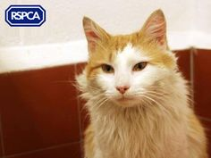 Austin, Domestic Semi crossbreed cat, 1 Year, Wirral and Chester Animal Centre Long Cat, Pet Search, Small Cat, Chester, Sadie, Big Cats, 1 Year, Adoption, Cute Animals