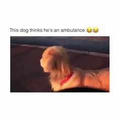 Funny Categories Fuunyy Whenever he hears an ambulance Source by isabelladentino Funny Animal Videos, Cute Funny Animals, Funny Animal Pictures, Cute Baby Animals, Animal Memes, Funny Cute, Funny Dogs, Animals And Pets, Puppy Pictures