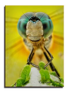 Dragonfly Up Close     By: Christopher Schlaf