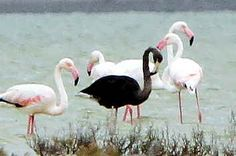 A Black Flamingo Spotted In Cyprus May Be The Only One Of Its Kind Ever Seen