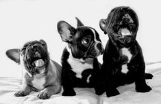 """When your friends are yelling and you have no idea why?"", French Bulldog Puppies ❤️"