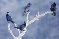 Ptaki krukowate - Ptaki krukowate - Weranda Country