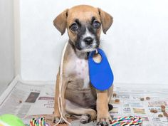 This DOG - ID#A465699 - URGENT - Harris County Animal Shelter in Houston, Texas…