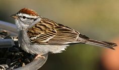 A crisp, pretty sparrow whose bright rust cap both provides a splash of color and makes adults fairly easy to identify. Chipping Sparrows are common across North America wherever trees are interspersed with grassy openings. Their loud, trilling songs are one of the most common sounds of spring woodlands and suburbs.