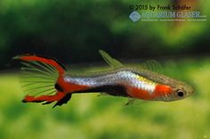 Skyblue - Quelle: Aquarium Glaser
