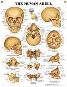 skull bones, via youtube. | medical terminology | pinterest, Human Body