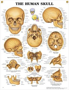Human Skull anatomy poster shows anterior and lateral aspects of the skull for patient and classroom education.