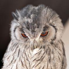 Northern White-faced Owl (Ptilopsis leucotis)