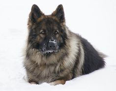 shiloh shepherd photo | International Shiloh Shepherd Dog Club [ISSDC] | Photo Gallery Long Coat German Shepherd, German Shepherd Puppies, German Shepherds, Fluffy Puppies, Dogs And Puppies, Beautiful Scenery, Animals Beautiful, Shiloh Shepard, Unusual Dog Breeds