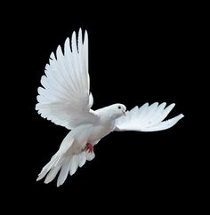 Photo about Free flying white pigeon in a beak with a rose is isolated on a white background. Image of isolated, hope, white - 48897202 White Pigeon, Dove Pigeon, Dove Flying, Bird Flying, Dove Pictures, Dove Images, Bing Images, Dove Tattoos, Dove Bird