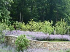 """""""Walkers Low"""" catmint,  lavender, trees and retaining wall."""