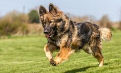 Reinforcement In Dog Training #DrySkinCareTips #OvernightAcneBeautyTips Dry Skincare, German Shepherd Breeds, Rottweiler Puppies, Left Alone, Beauty Hacks, Beauty Tips, Dog Training, Best Dogs, Positive Reinforcement